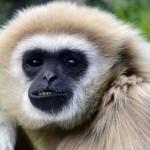 Gibbon Class