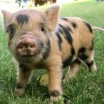 Piglet Class